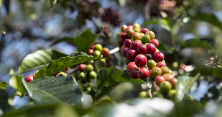 Äthiopien: Mit Kaffeeanbau aus der Armut