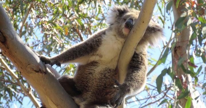"""Melbourne & Victoria: """"Nur ein Koala-Nickerchen entfernt"""""""
