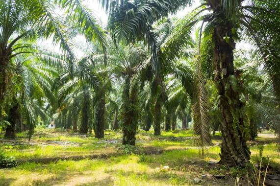 Öko-Bilanz von fettliefernden Nutzpflanzen