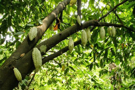 Nachhaltigkeit bei der Kakaoproduktion