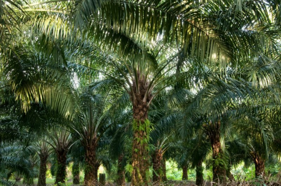 Unterschiede zwischen Palmöl und Palmöl