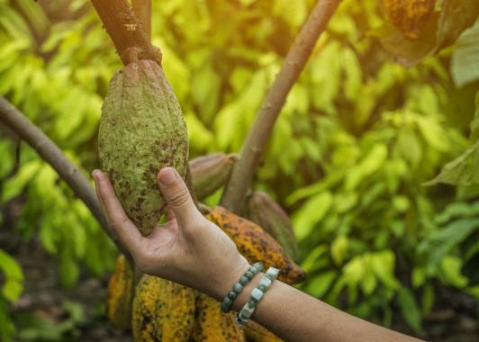 Projekt für Nachhaltigkeit auf Kakaoplantagen